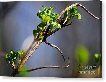 New Life 1 Canvas Print by Crissy Sherman