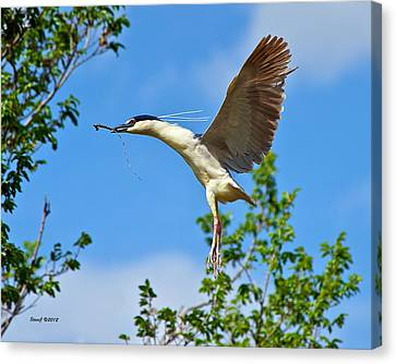 Night Heron Building Nest Canvas Print