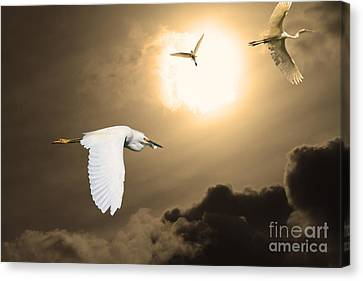 Night Of The White Egrets . Partial Sepia Canvas Print by Wingsdomain Art and Photography