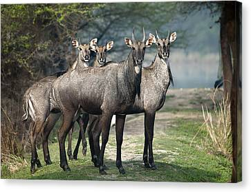 Nilgai Canvas Print by Photography by Masood Hussain