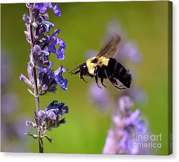 Non Stop Flight To Pollination Canvas Print by Sue Stefanowicz