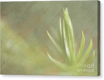 Norfolk Pine Tip Canvas Print by Christine Amstutz