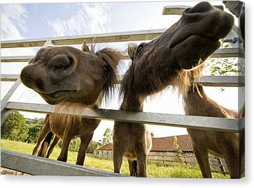 North Yorkshire, England Horses Looking Canvas Print by John Short