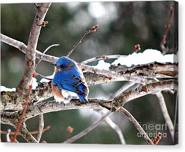 Northern Bluebird Canvas Print by Lila Fisher-Wenzel