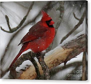Northern Cardinal In Snowstorm Canvas Print