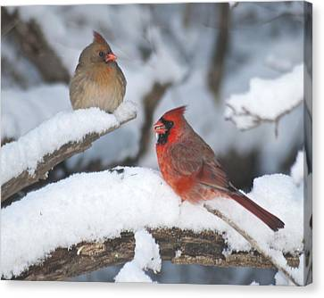 Northern Cardinal Pair 4284 2 Canvas Print by Michael Peychich