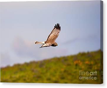 Northern Harrier Flight Canvas Print by Mike  Dawson