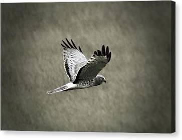 Northern Harrier Canvas Print