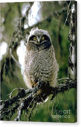 Northern Hawk Owl Fledgeling Canvas Print by Doug Herr