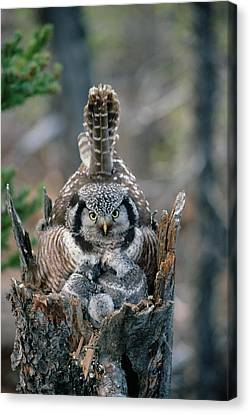 Northern Hawk Owl Surnia Ulula Parent Canvas Print by Michael Quinton