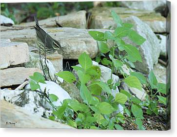 Northern Waterthrush By The Stream Canvas Print