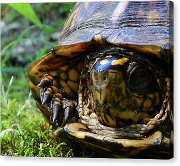 Canvas Print featuring the photograph Nosey Turtle by Chad and Stacey Hall