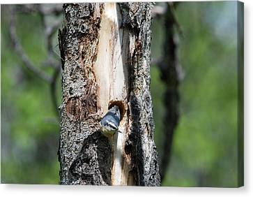 Nuthatch At Nest Site Canvas Print