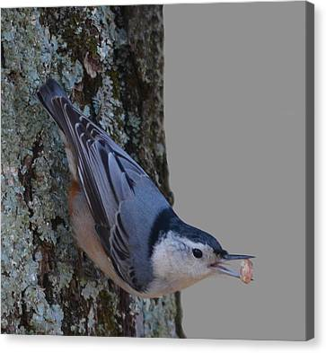 Canvas Print featuring the photograph Nuthatch by Brian Stevens