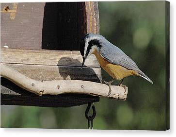 Nuthatch Opening Sunflower Seed Canvas Print