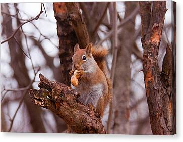 Nutty Squirrel Canvas Print by Josef Pittner
