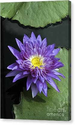 Nymphaea 'king Of Siam' Canvas Print