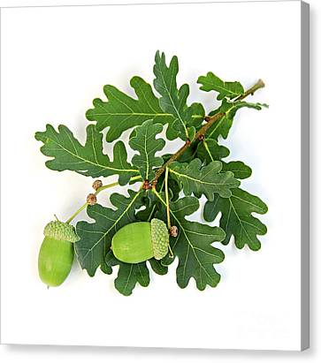 Oak Branch With Acorns Canvas Print by Elena Elisseeva