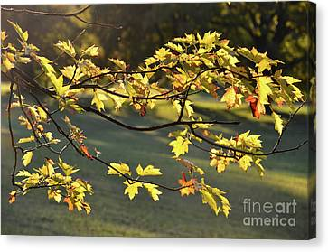 Oak Leaves In The Sunlight Canvas Print