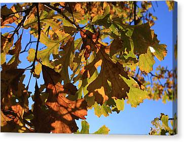Oak Leaves With Backlighting Canvas Print by Lyle Hatch