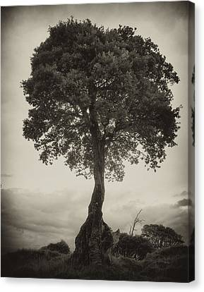 Canvas Print featuring the photograph Oak Tree by Hugh Smith