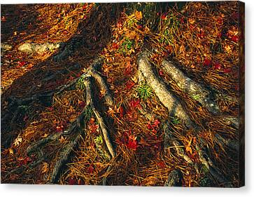 Oak Tree Roots And Pine Needles Canvas Print by Raymond Gehman