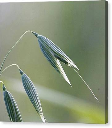 Decorative Canvas Print - #oat #spica #decorative #cereal #plant by Andrei Vukolov
