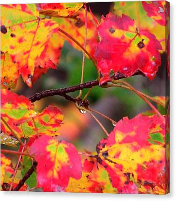 October Maple Canvas Print by Mandi Howard