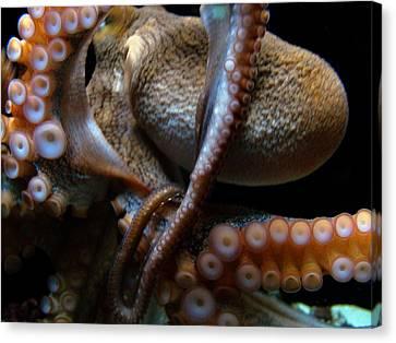 Octopus 1  Canvas Print