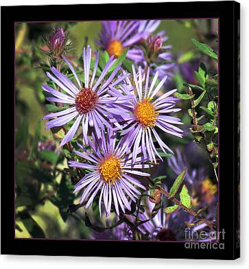 Odd Aster Out Canvas Print by Darleen Stry