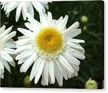 Canvas Print featuring the photograph Oh Daisy by Carol Sweetwood