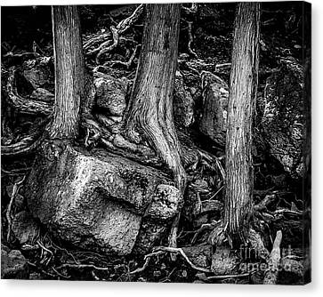 Old Cedar Canvas Print by Perry Webster
