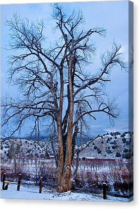 Old Cottonwood Canvas Print