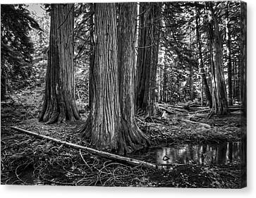 Old Growth Cedar Trees - Montana Canvas Print by Daniel Hagerman