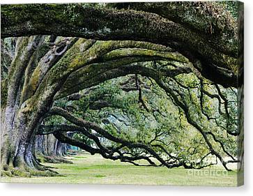 Old Growth Trees Canvas Print by Jeremy Woodhouse