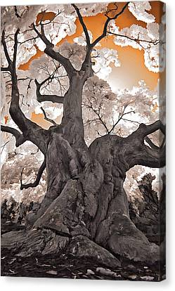 Old Japanese Maple Canvas Print