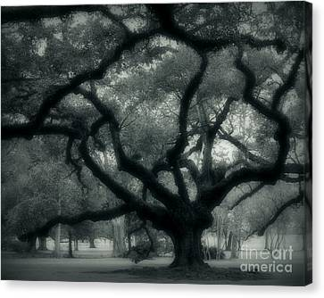 Old Oak Canvas Print by Perry Webster