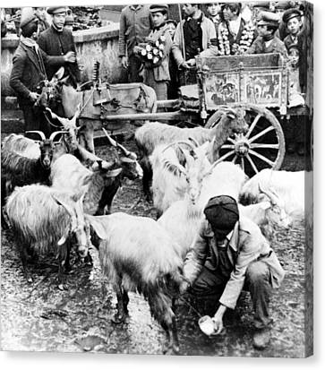Old Palermo Sicily - Goats Being Milked At A Market Canvas Print by International  Images