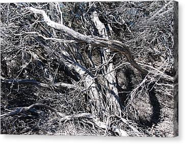 Old Wind Swept Tree Canvas Print