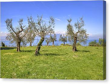 olive grove on Lake Gardan Canvas Print