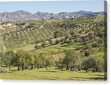Olive Groves, Southern Spain. Canvas Print by Ken Welsh