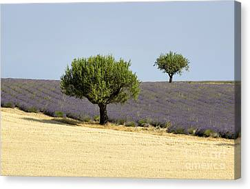 Olives Tree In Provence Canvas Print by Bernard Jaubert