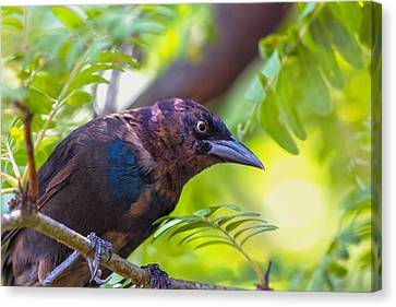 Ominous Molting Grackle Canvas Print by Bill Tiepelman