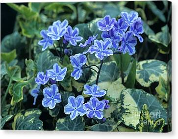 Omphalodes 'starry Eyes' Flowers Canvas Print by Archie Young