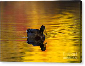 Drake Canvas Print - On Golden Waters by Mike  Dawson