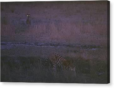 On The Hunt, Sita Stalks Her Prey Canvas Print by Michael Nichols