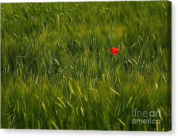 One Flower Canvas Print by Odon Czintos