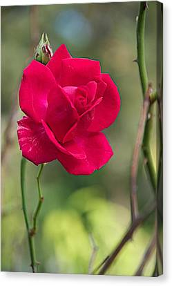 Canvas Print featuring the photograph One Rose by Joseph Yarbrough