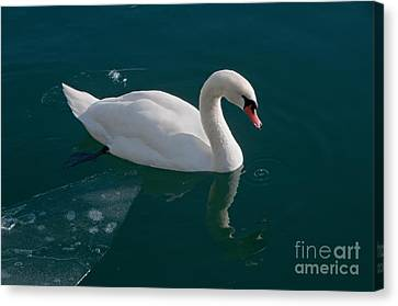 One Swan A-swimming Canvas Print