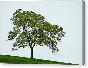 One Tree Hill. Canvas Print by John Greim